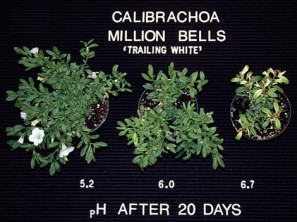 Calibrachoa Million Bells pH after 20 days